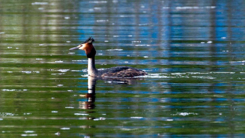 Naturfotografie, Tierfotografie: Vogelwelt Bergwitzsee | Foto: Dieter Eikenberg, imprints