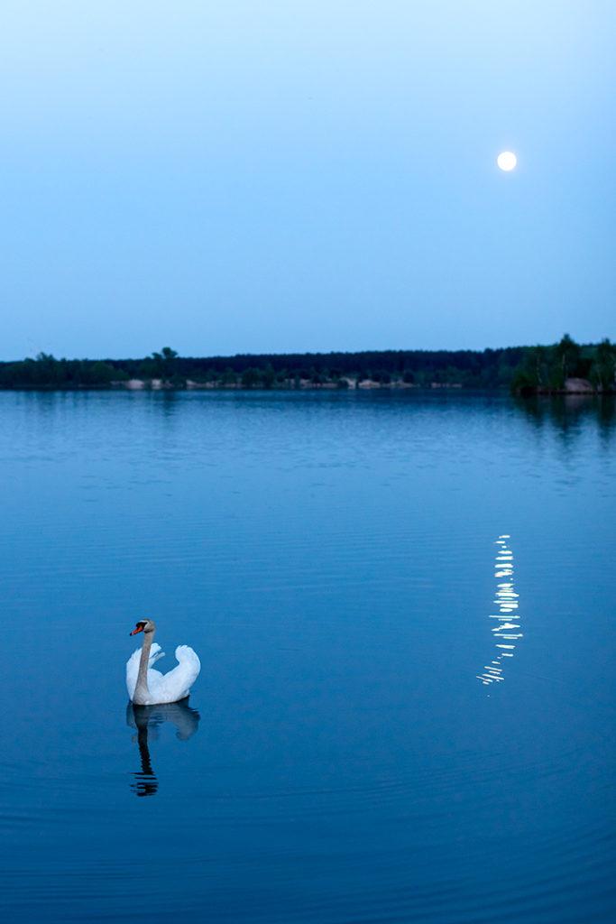 Naturfotografie, Tierfotografie: Schwan im Mondlicht am Bergwitzsee   Foto: Dieter Eikenberg, imprints