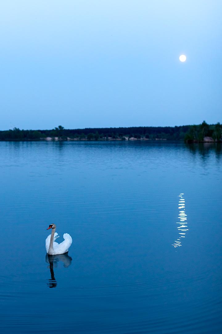 Naturfotografie, Tierfotografie: Schwan im Mondlicht am Bergwitzsee | Foto: Dieter Eikenberg, imprints