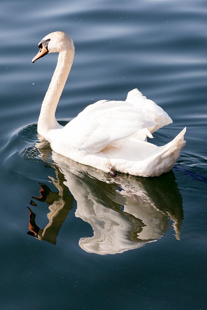 Naturfotografie, Tierfotografie: Schwan auf dem Bergwitzsee | Foto: Dieter Eikenberg, imprints