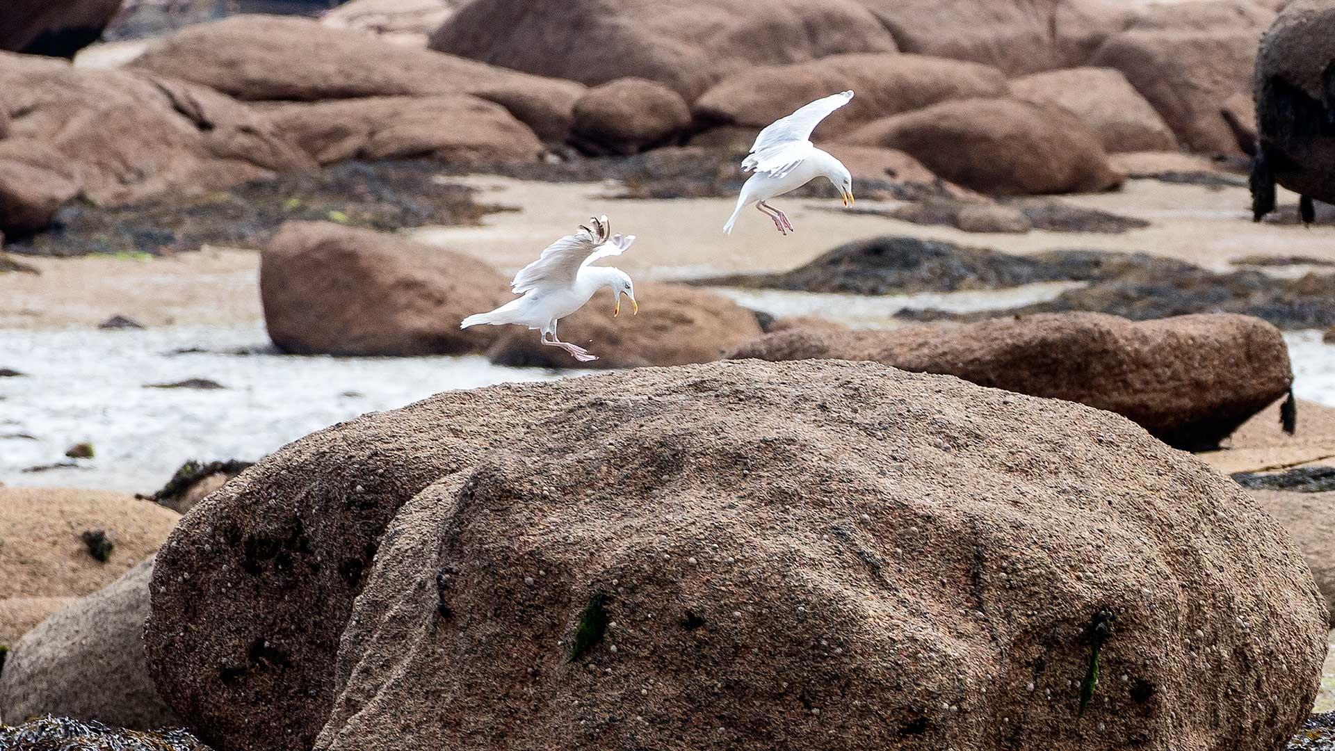Naturfotografie, Tierfotografie: Côte de Granit Rose – Tanz der Möwen | Foto: Dieter Eikenberg, imprints