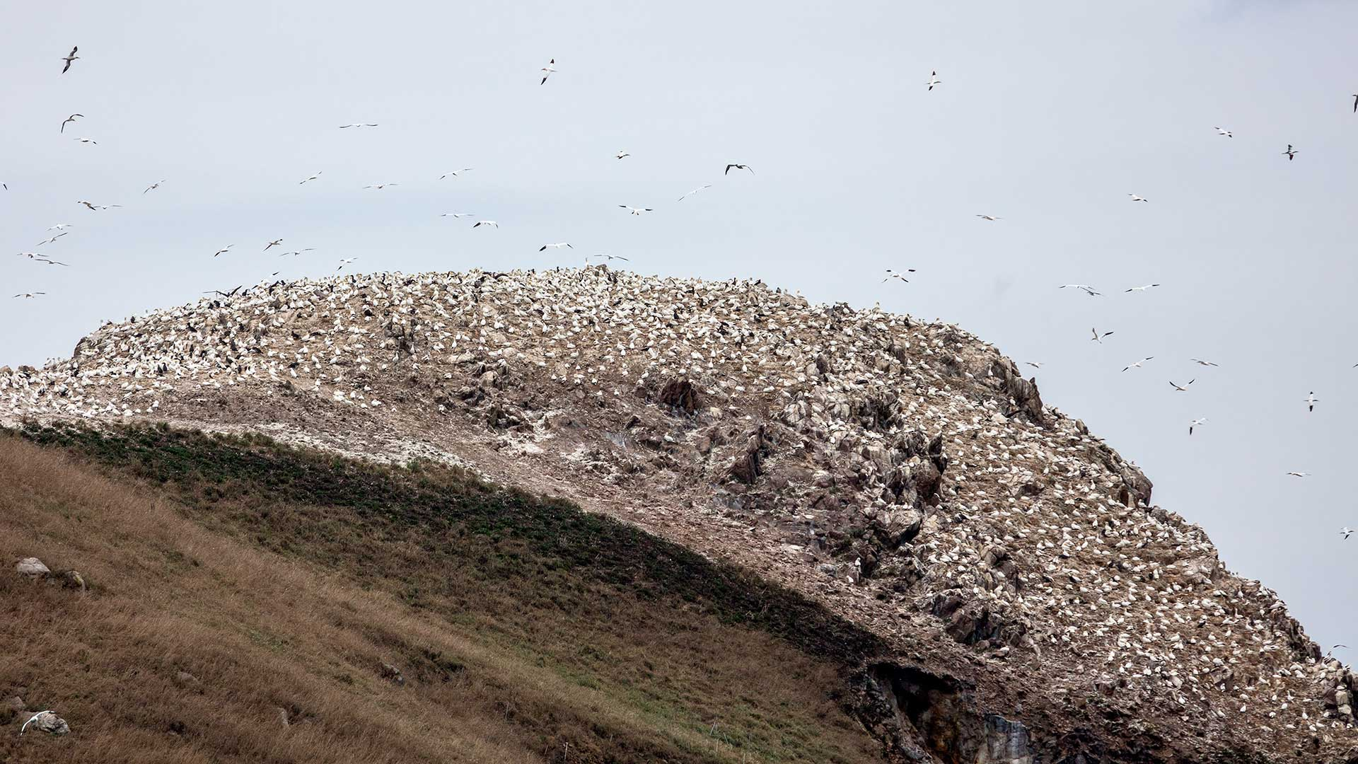 Naturfotografie, Tierfotografie: Ile de Rouzic – Basstölpel-Kolonie | Foto: Dieter Eikenberg, imprints