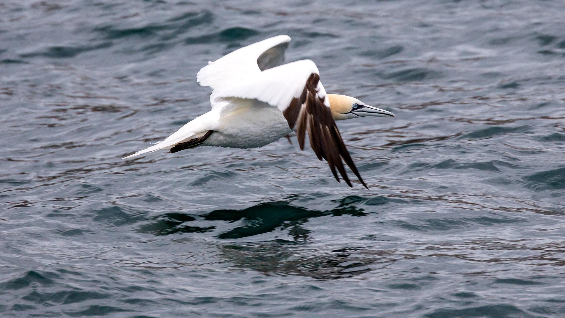 Naturfotografie, Tierfotografie: Les Sept Iles – Basstölpel im Flug | Foto: Dieter Eikenberg, imprints