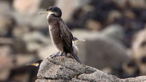 Naturfotografie, Tierfotografie: Les Sept Iles – Vogelwelt | Foto: Dieter Eikenberg, imprints