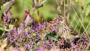 Naturfotografie, Tierfotografie: Côte de Granit Rose – Strandpieper | Foto: Dieter Eikenberg, imprints