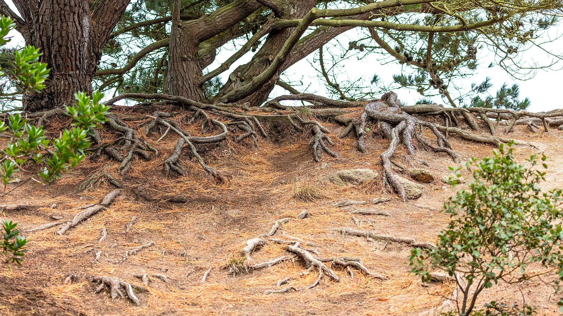 Landschaftsfotografie: Côte de Granit Rose – Wurzelwerk: Bretonische Bodenhaftung | Foto: Dieter Eikenberg, imprints
