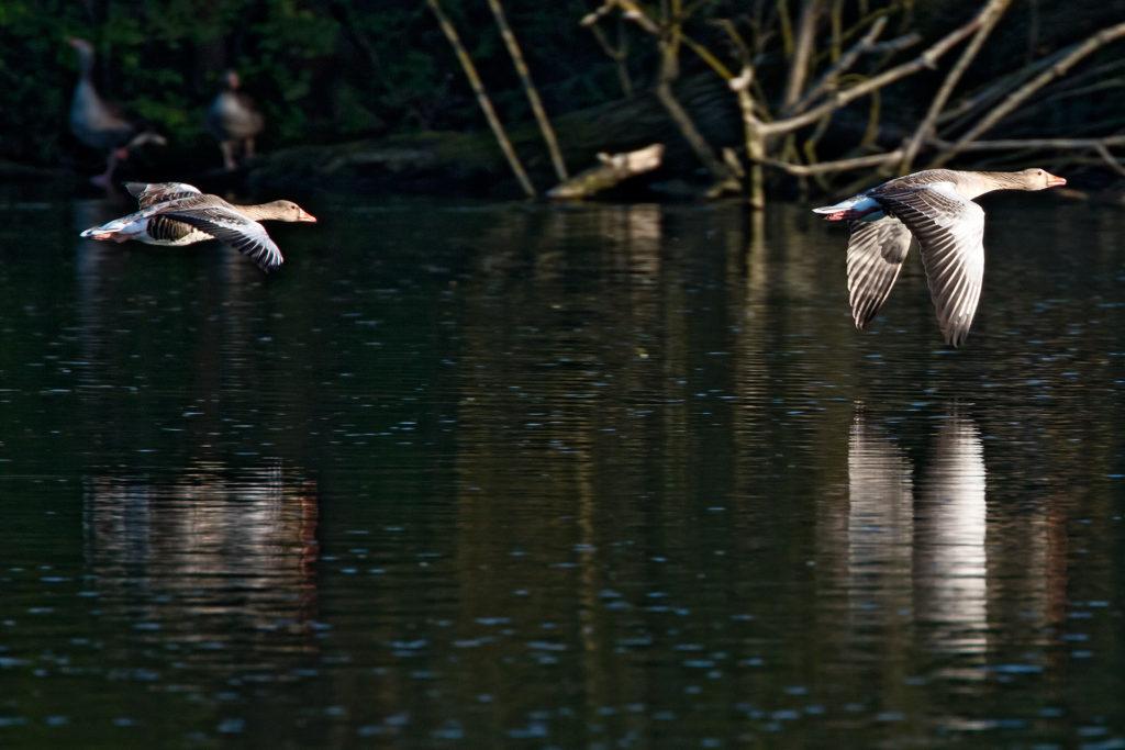 Landschaftsfotografie, Tierfotografie: Gänse, Flug über den Göttinger Kiessee | Foto: Dieter Eikenberg, imprints