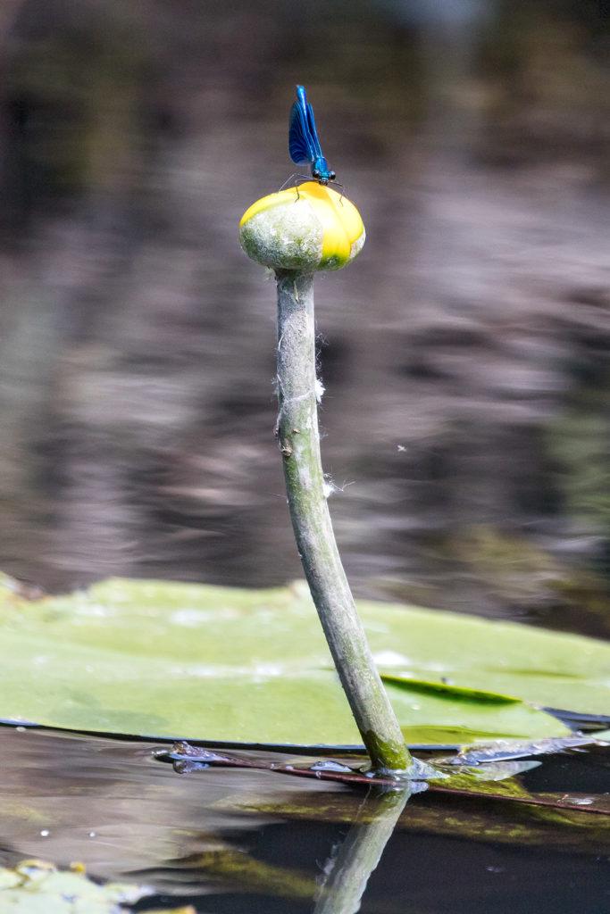 Tierfotografie: Libelle auf Seerosenblüte | Foto: Dieter Eikenberg, imprints