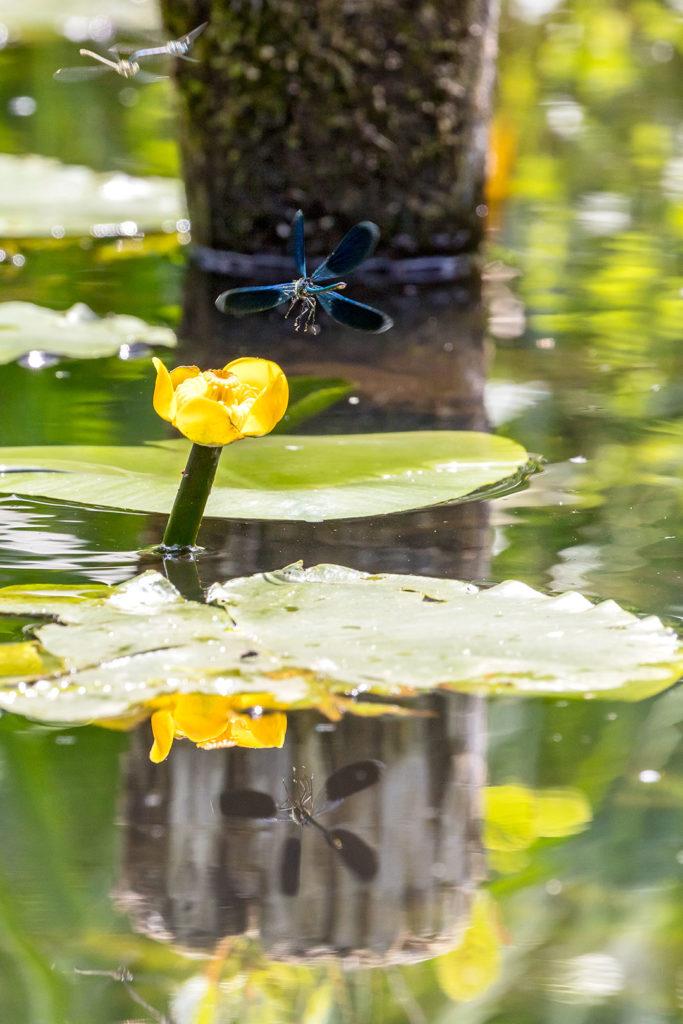 Landschaftsfotografie: Libelle auf Seerosenblüte | Foto: Dieter Eikenberg, imprints