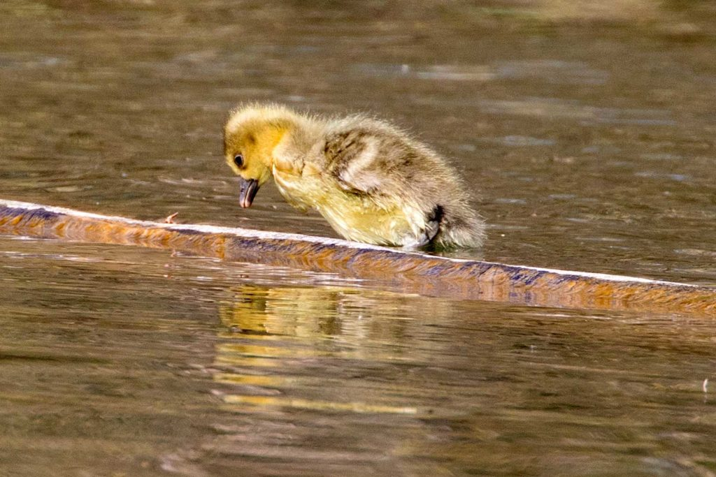 Gänseküken Graugans | Blick in den Wasserspiegel