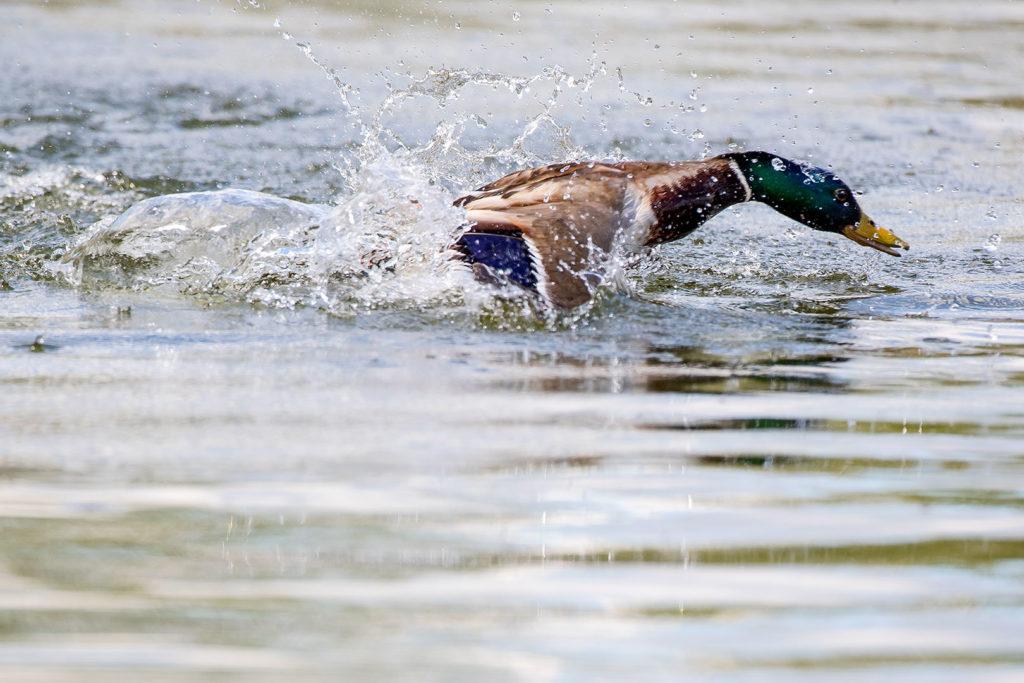 Stockente beim Flugstart auf dem See / Foto: Dieter Eikenberg