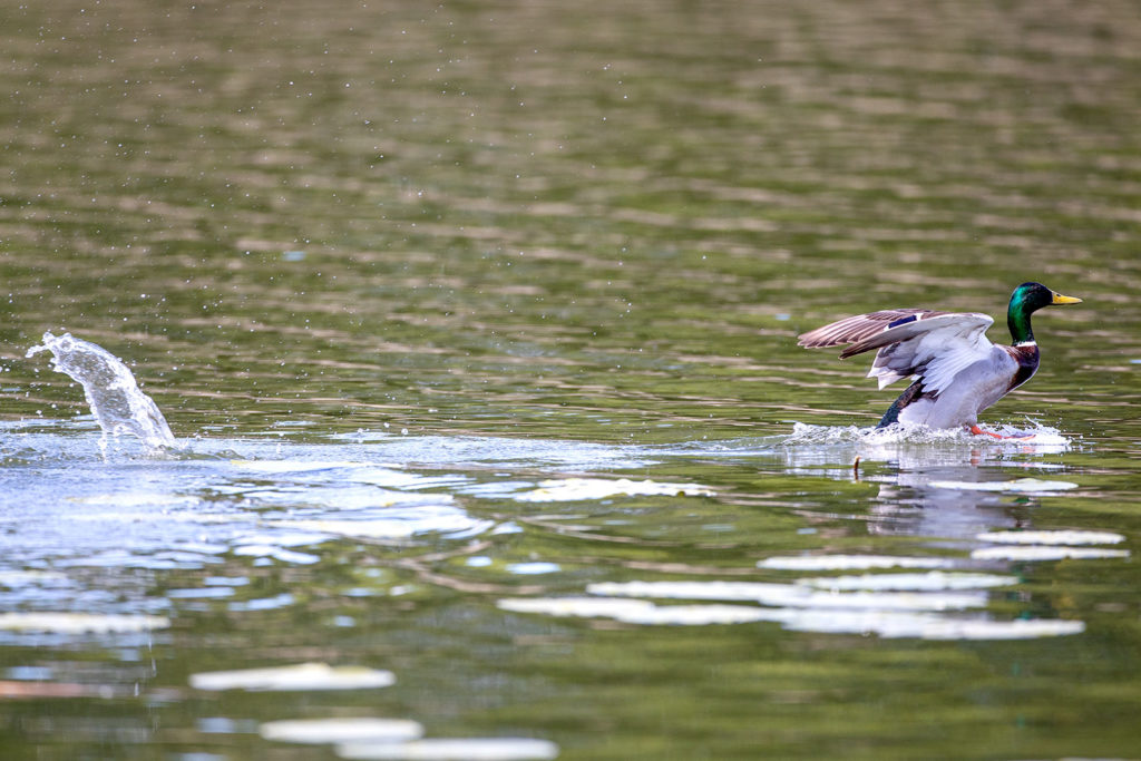 Stockente beim Landen im Wasser