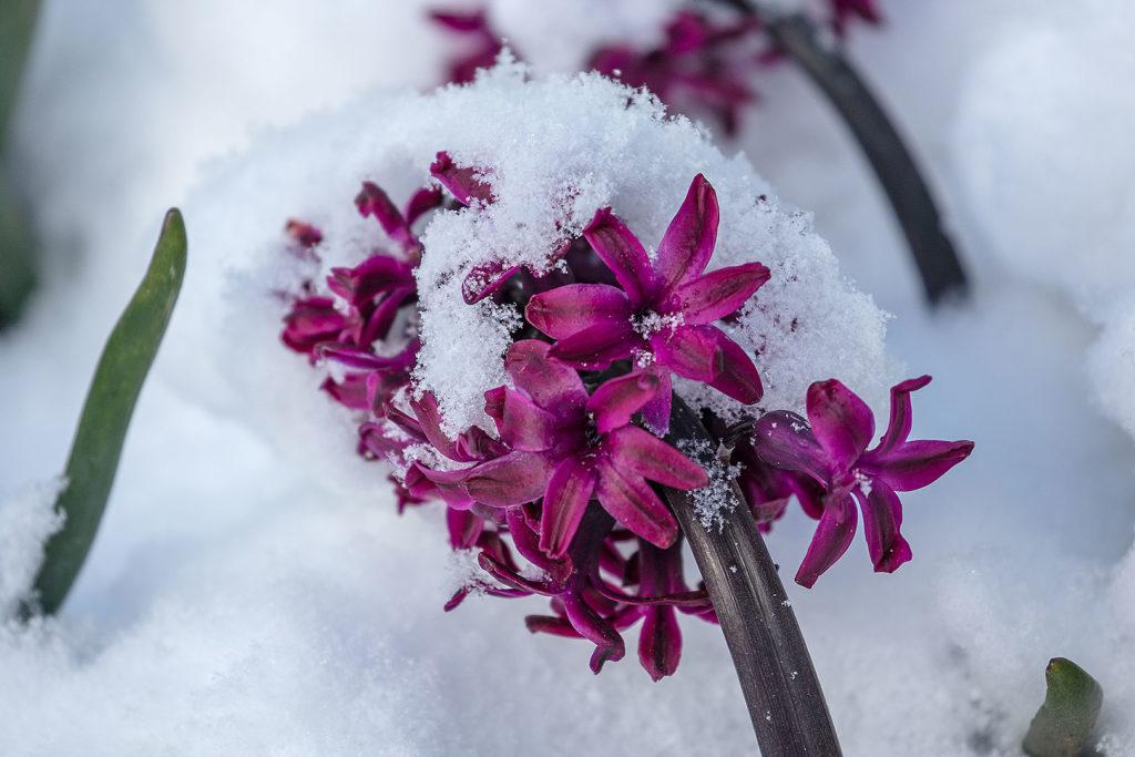 Blütenpracht im Schnee