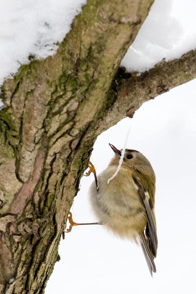 Rosdorf im Winter: Wintergoldhähnchen