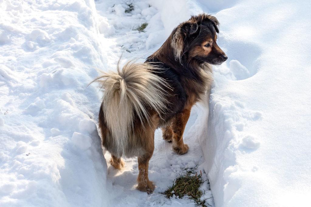 Hund – erstaunt über Schneemassen