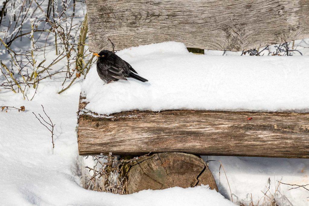 Schwarzdrossel auf Schneepolster, Rosdorf
